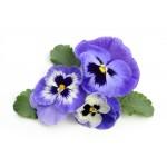 Цветы мелкая фасовка 2. двулетники