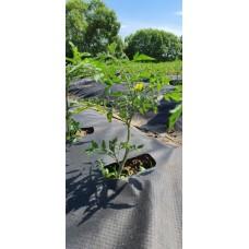 Агротекс 60 шир 1,6*10м чёрный перфорированный( в коробке) (16шт/кор)