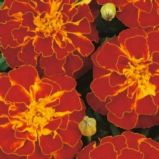 Бархатцы отклоненные Дуранго Ред (PanAmerican Seed) (1000шт) ПП