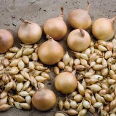 Лук-севок Геркулес фр.10-21 в кг (сетка~25кг) Голландия