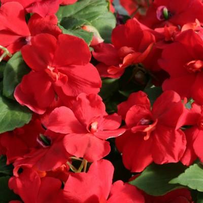 Бальзамин махровый Афина Ред (100шт) ПП - купить оптом